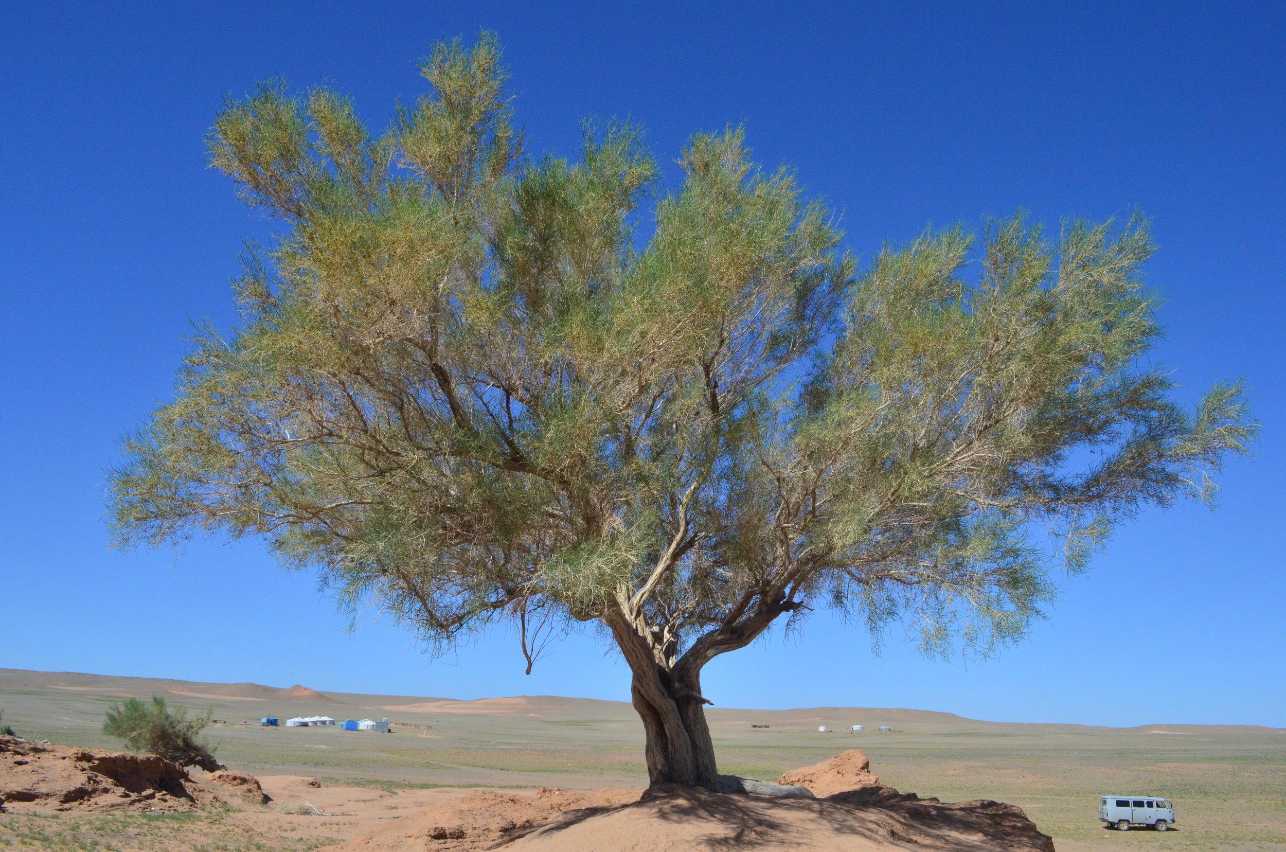 Gobi-Forest-Tree