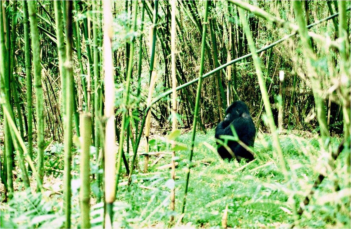 Congo gorilla. Photo: Hitesh Mehta