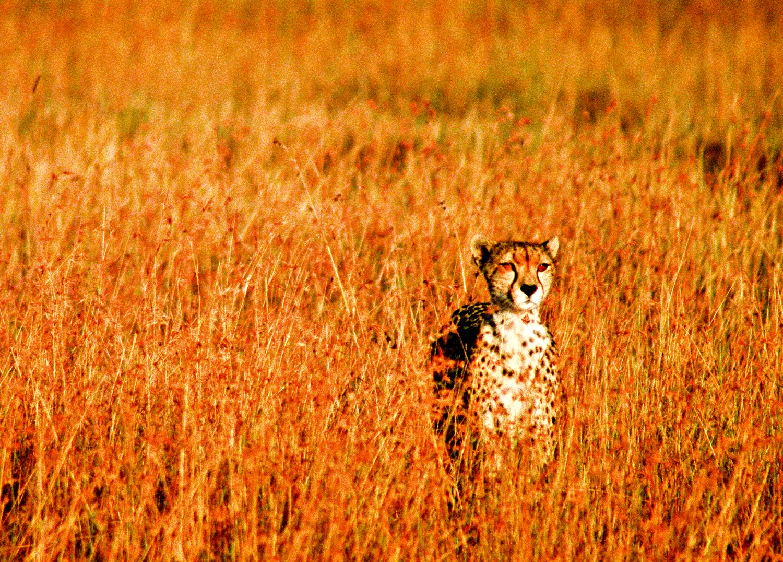cheeta-hitesh-mehta.jpg
