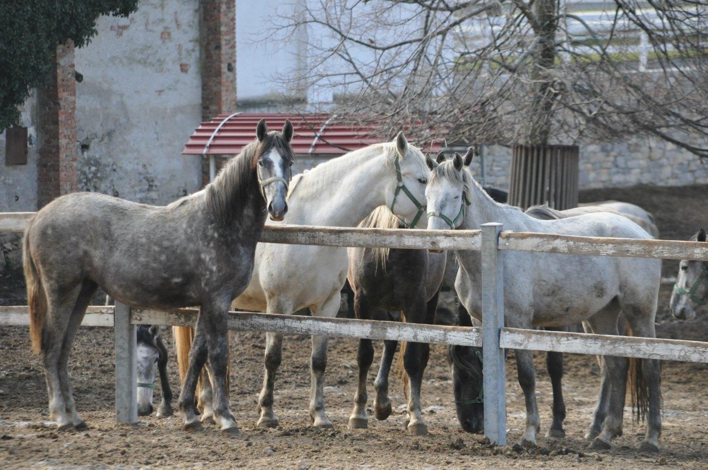 Slovenia Lipizzaner stallions