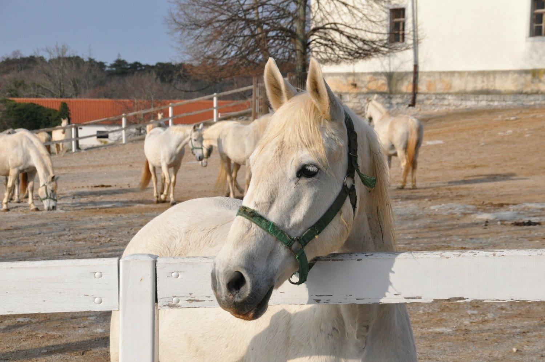 Lipizzaner stallions at Lipica stud farm Slovenia