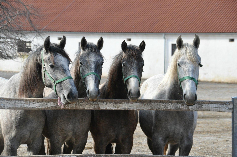 Lipizzaner horses at Lipica stud farm Slovenia