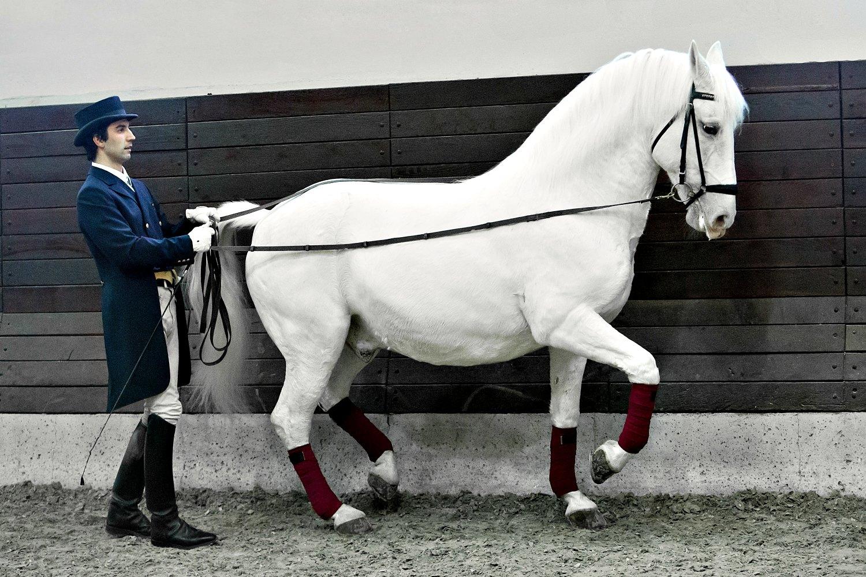 Lipizzaner stallion at dressage