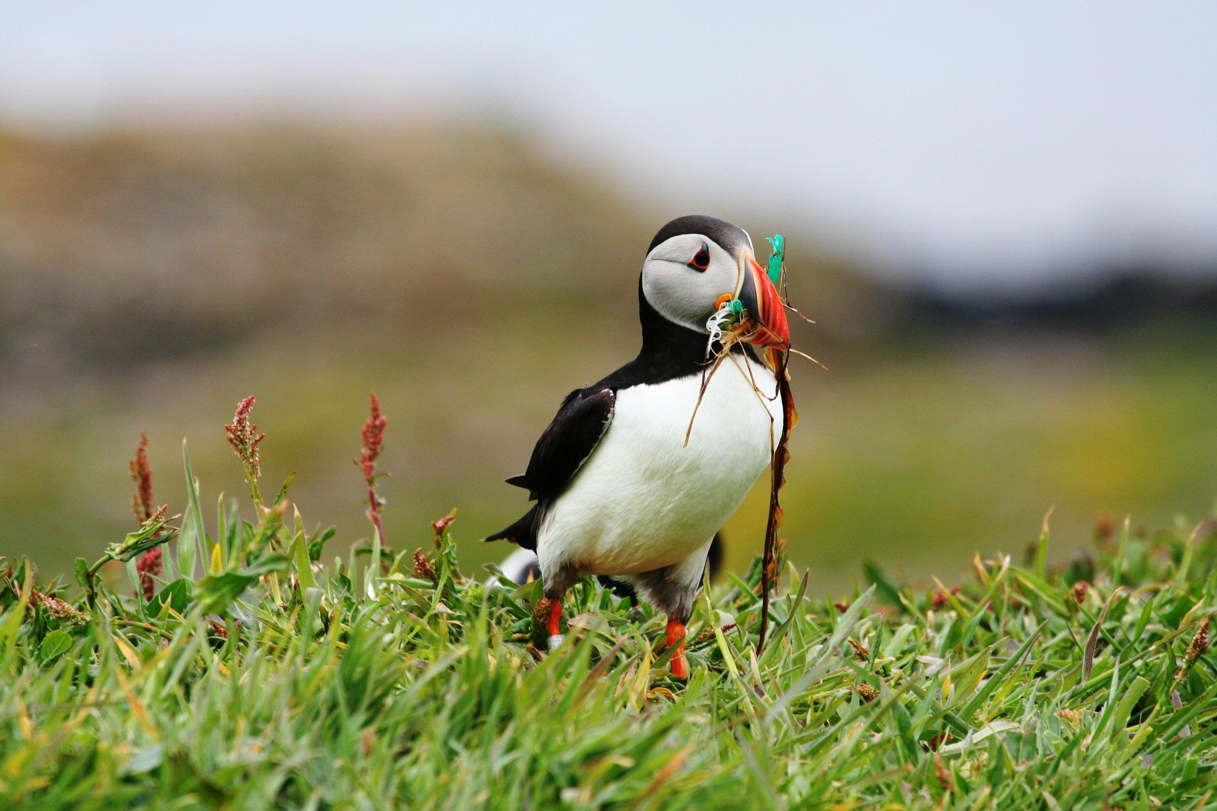 A playful puffin poses. Photo: Turus Mara