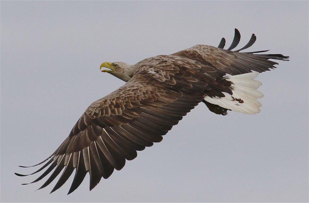 Sea Eagle. Photo: Turus Mara