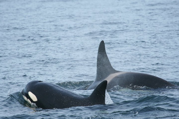 Orcas at play in Outer Hebrides. Photo: Turus Mara