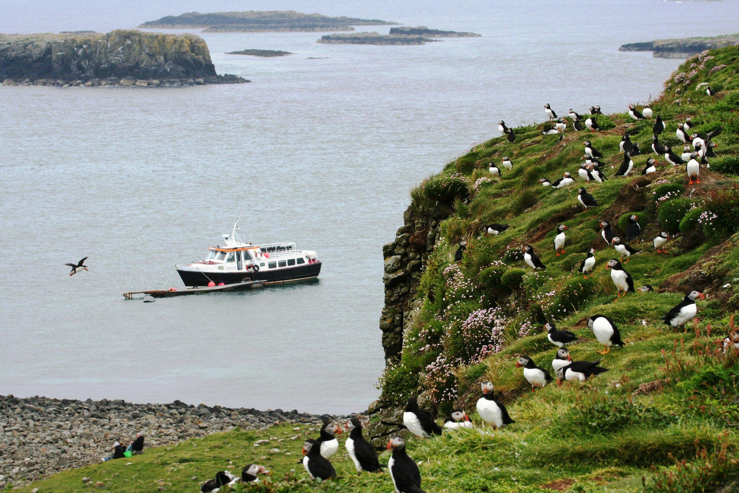 Puffins return each year to the Treshnish Isles to breed. Photo: Turus Mara