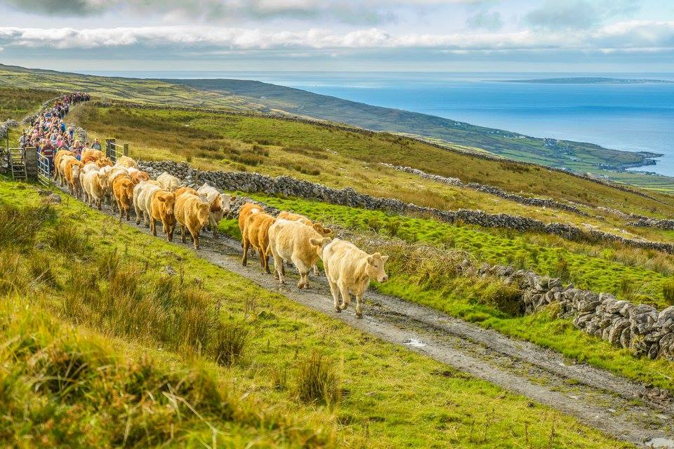 Cattle and people on the move in the Burren's annual winterage. Photo: Burrenbeo Trust