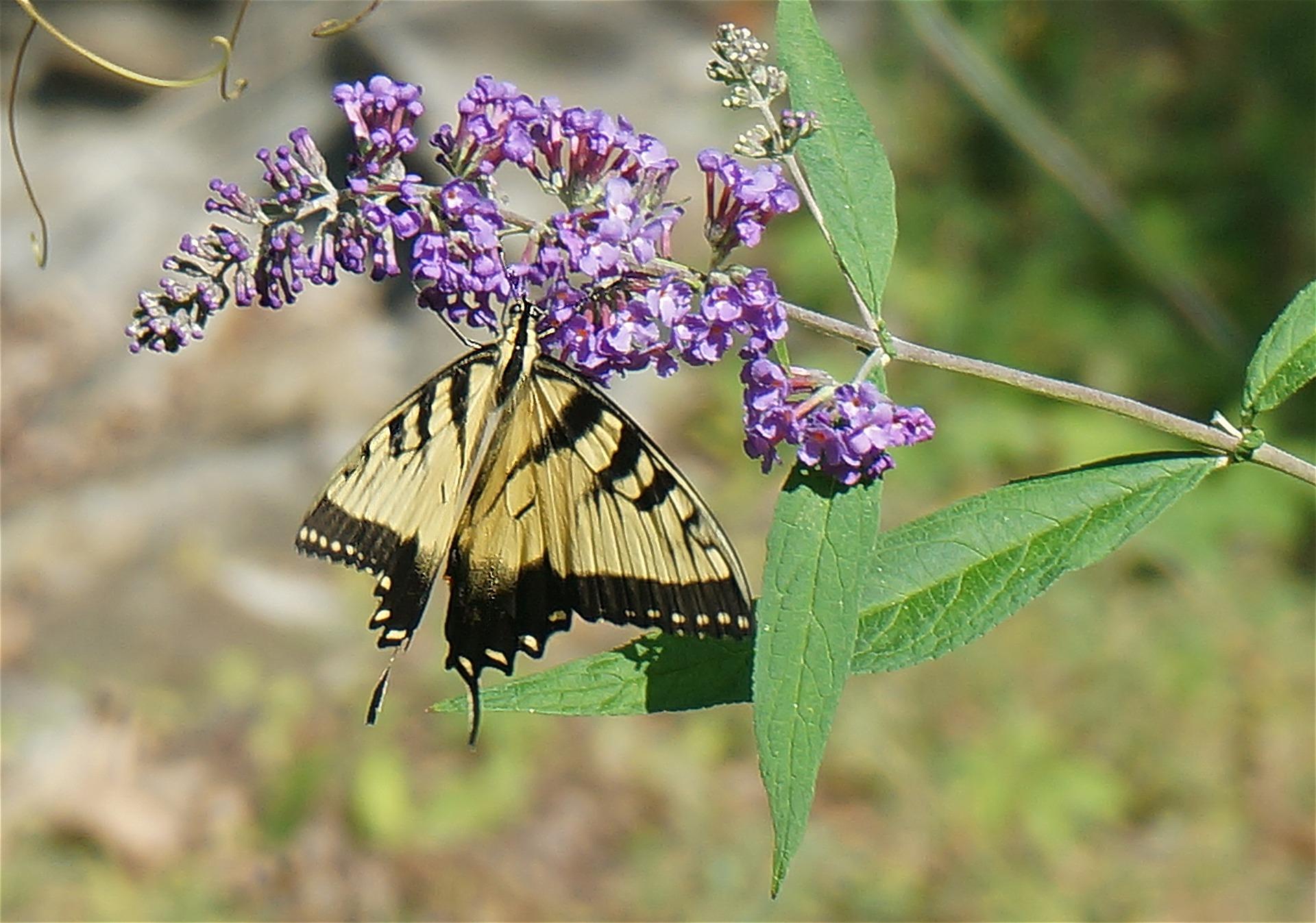 tiger swallowtails at Shenandoah national park