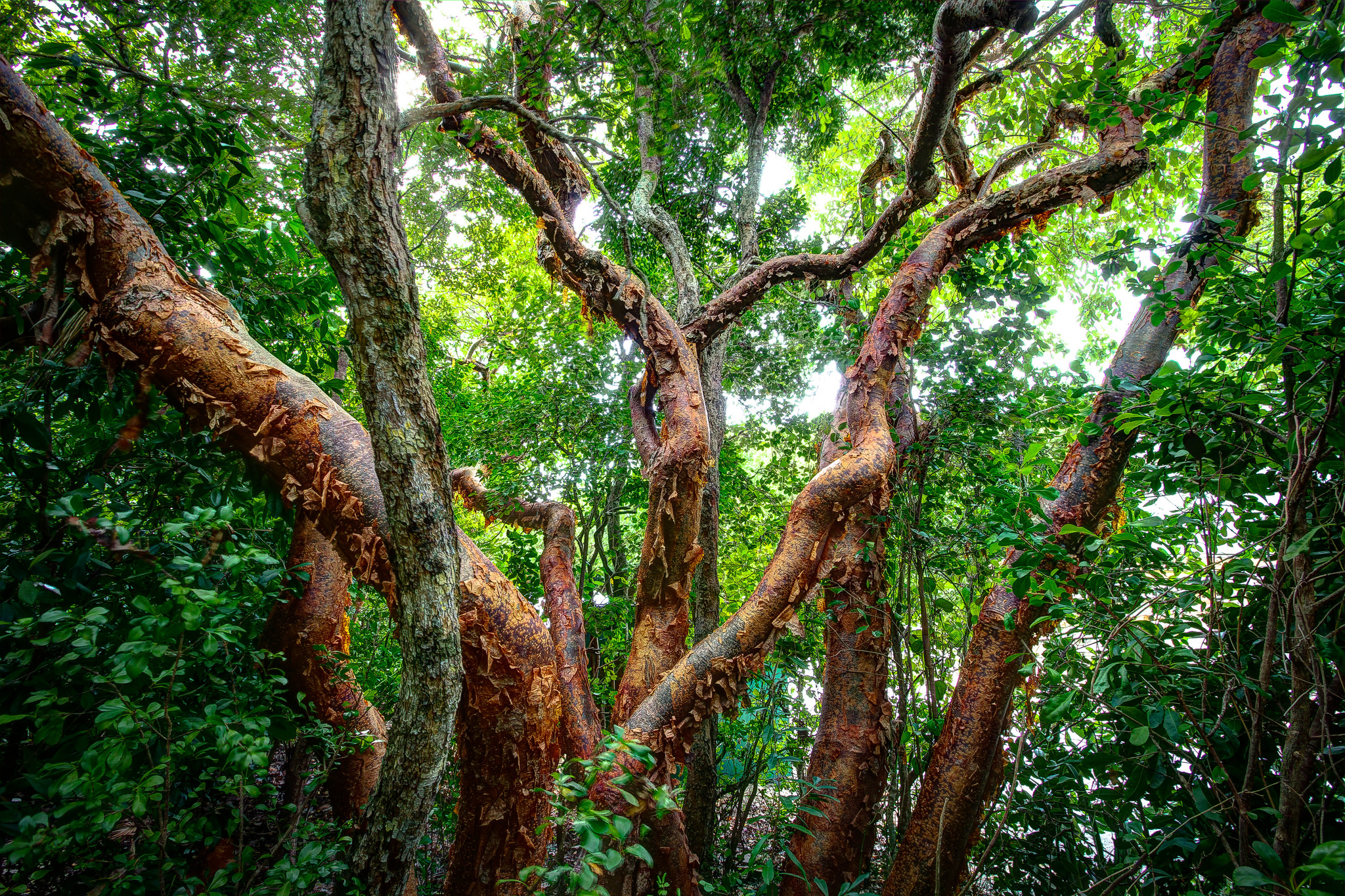 A guided tour on the Mayan Medicine Trail reveals the medicinal properties of plants such as the Red Gumbo Limbo (l) and Oregano Photo: Chaa Creek Lodge