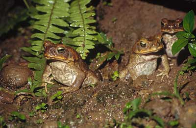 Eco outings are organized by local governments in Australia to control pests like the poisonous Cane Toads . Photo: Tweed Shire Council