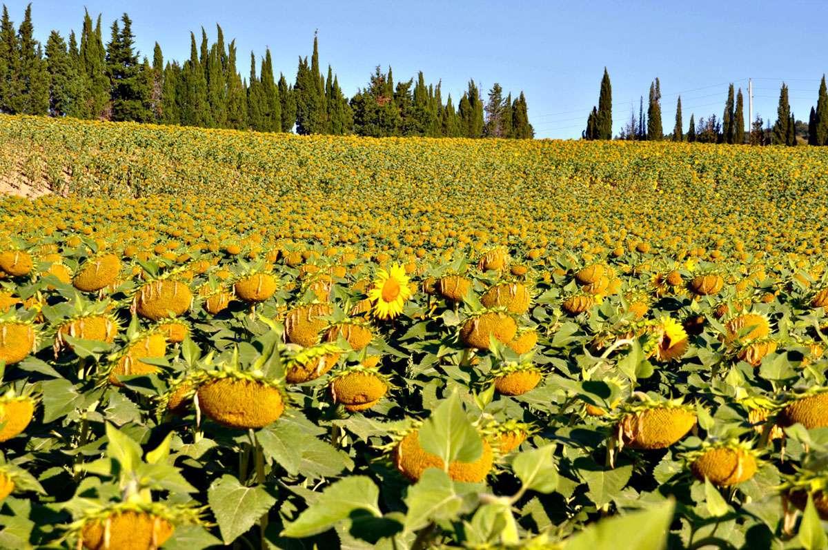 sunflowers cathar country france.jpg