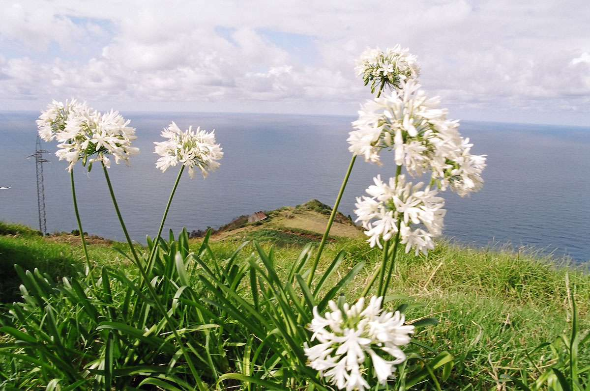Blue and white Agapanthus aren't native to Madeira but are so prolific as to be considered invasive