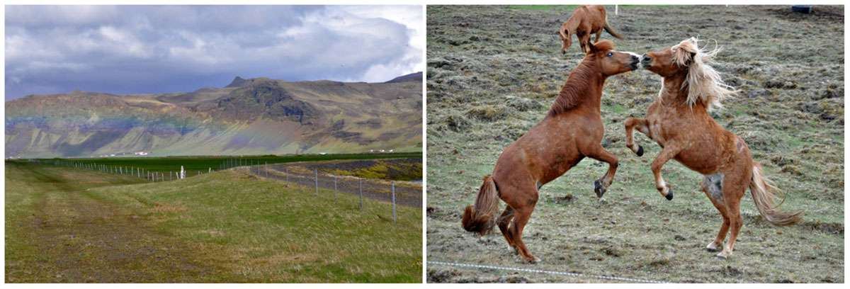 (Left) One of many rainbows on Route 1 in Iceland. (Right) The Icelandic Horse was brought to the island country by Vikings. Photos: Meg Pier