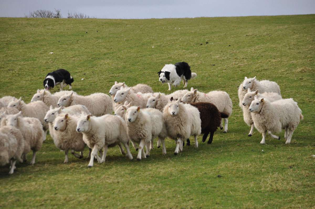 sheep dog.JPG