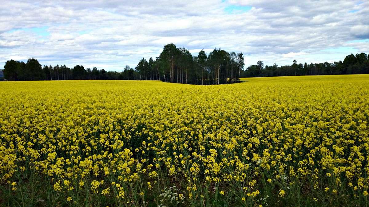 Fields at Dalarna
