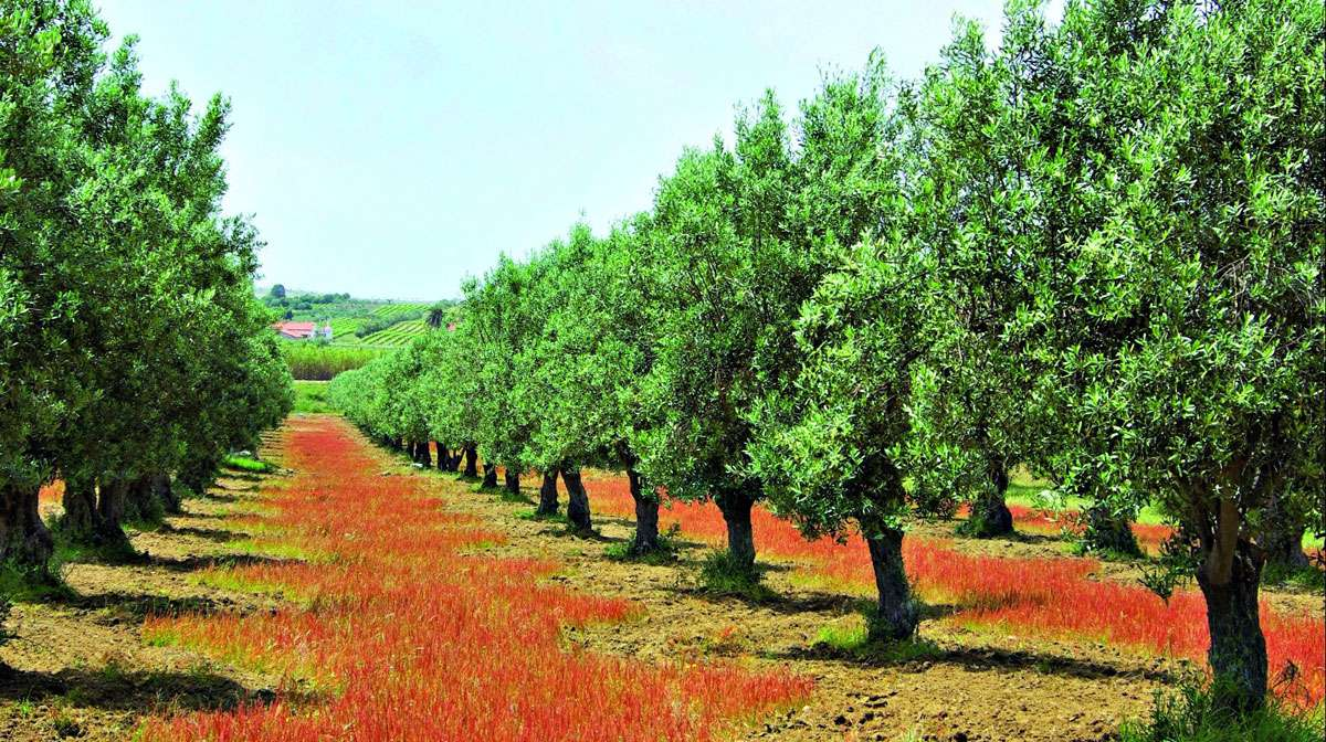 The Routes of the Olive Tree, Cultural Route symbol of peace and dialogue across the Mediterranean. Photo: The European Institute of Cultural Routes (EICR)