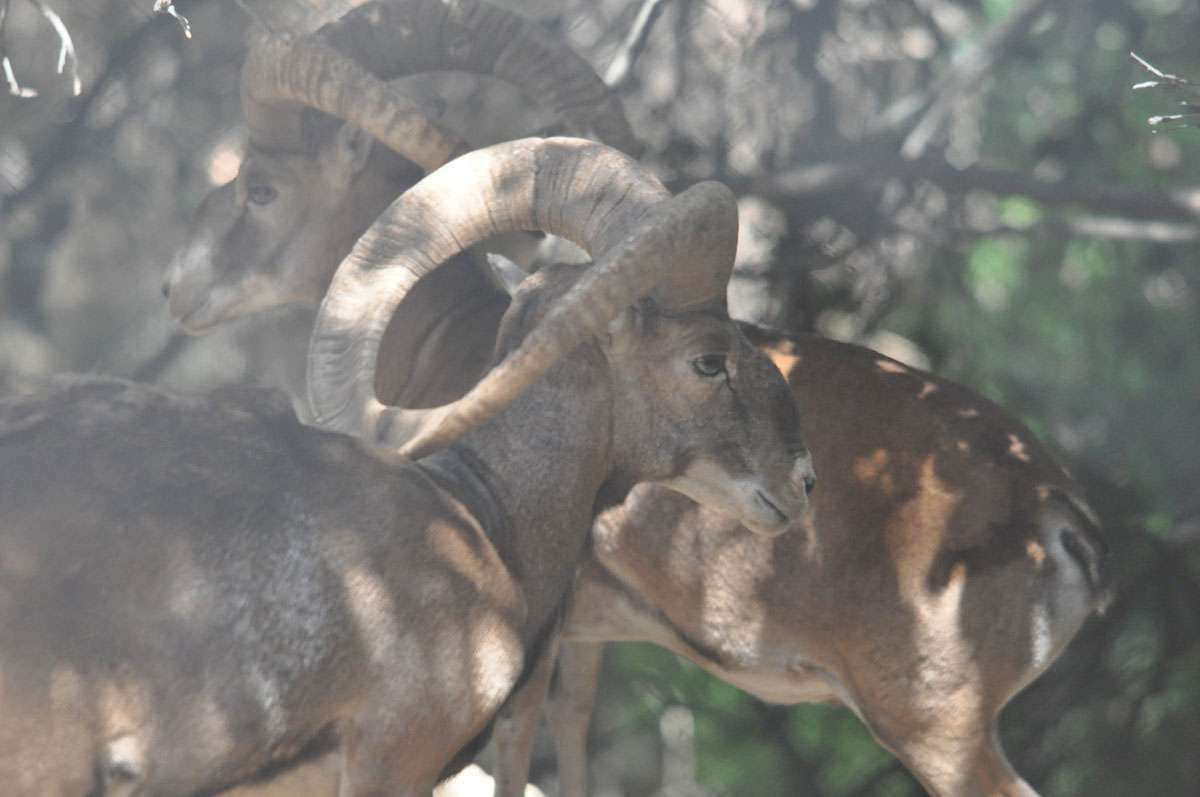 A mouflon, a type of wild sheep, in Stavros tis Psokas refuge