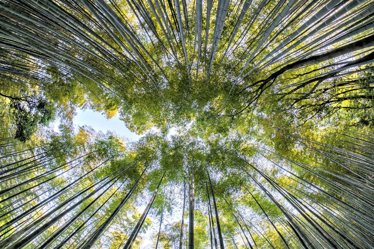 Bamboo Forest Credit: Creative Commons