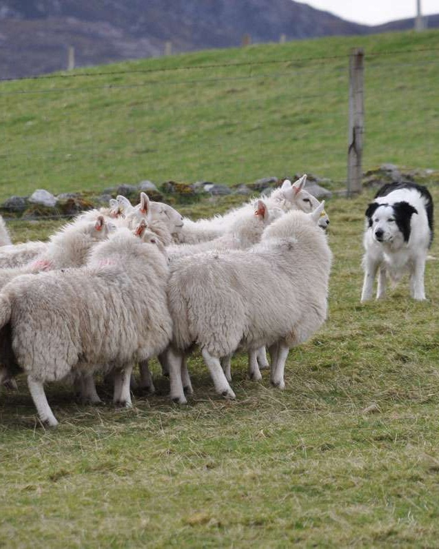 Border collies at work in Durness Scotland
