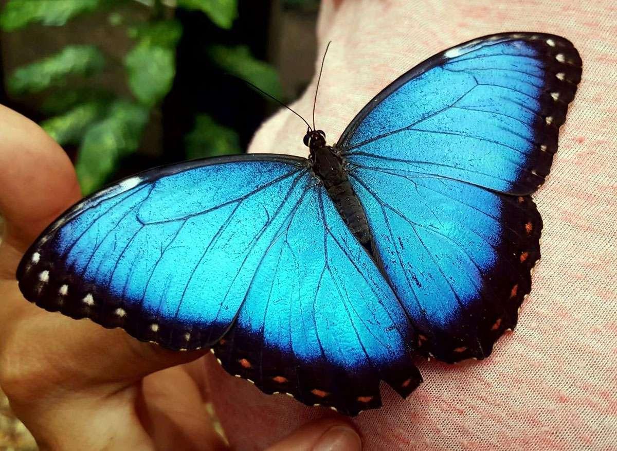 Belizean Blue Butterfly. Photo: Chaa Creek