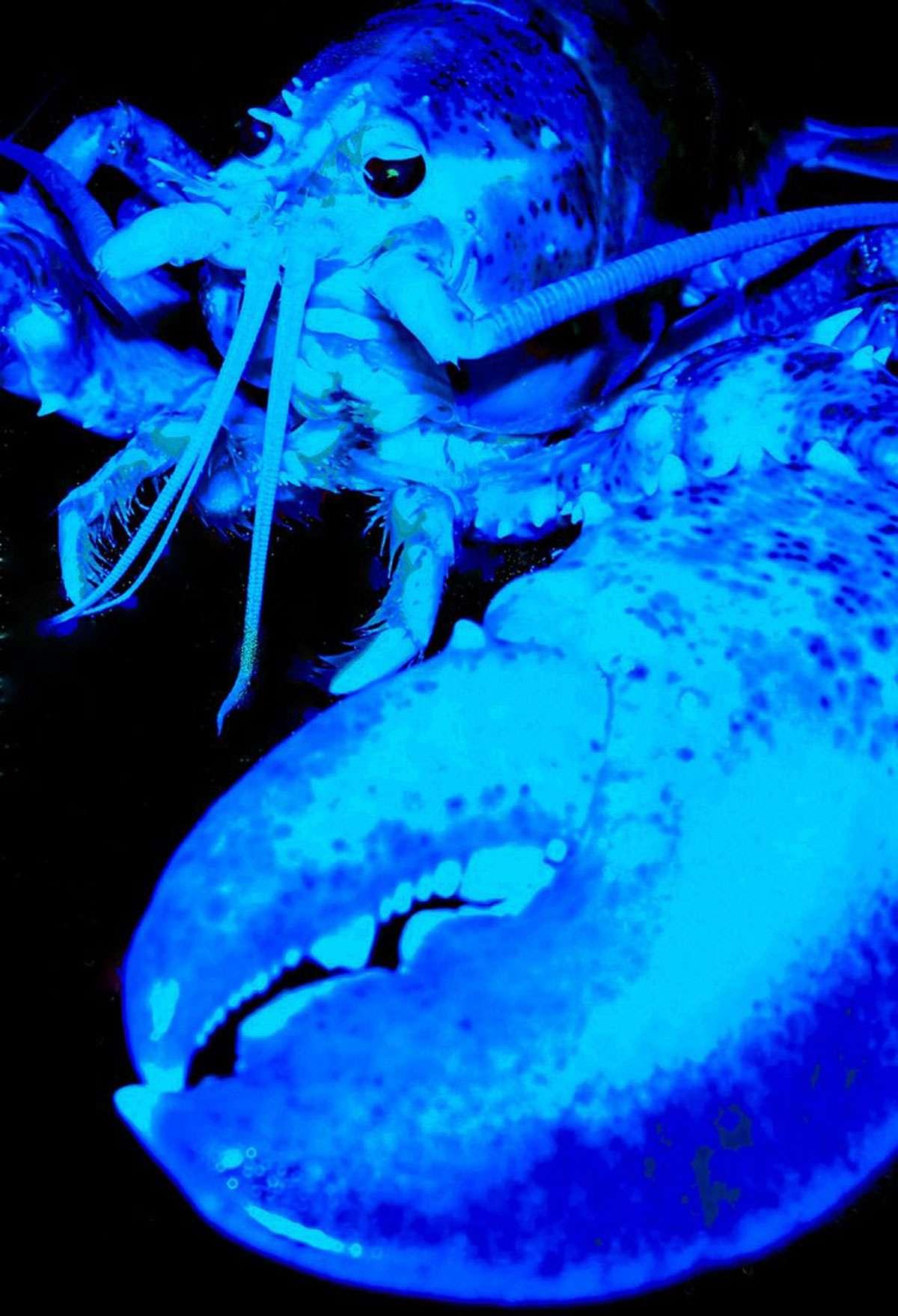 A blue lobster. Photo: Julie Eaton