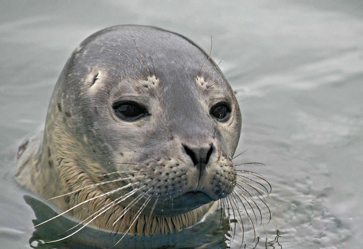 Head shot of the baby harbor seal. Photo: Julie Eaton