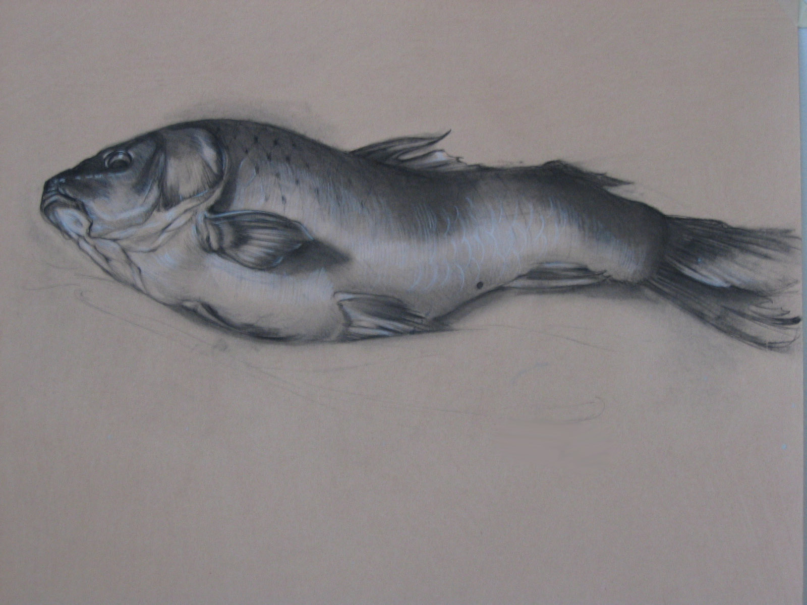 """Poisson, charcoal on archival paper, 24 x 19"""""""
