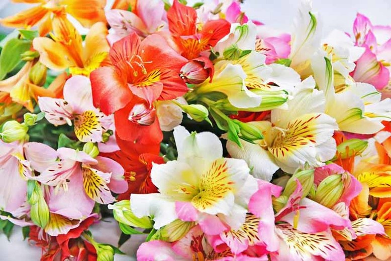 Alstroemeria  Fragrant, long blooming and colorful