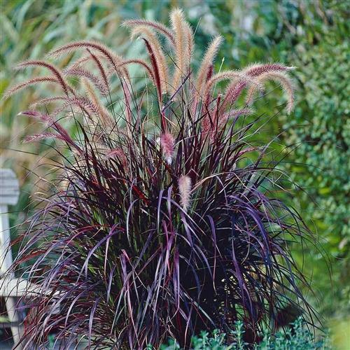 Purple fountain Grass.jpg
