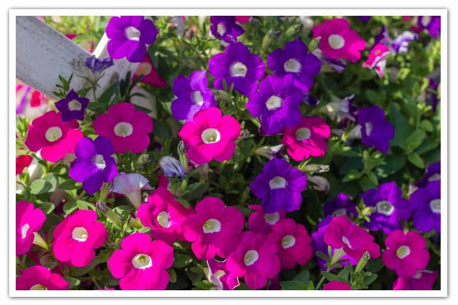 Petunia-Blanket-closeup.jpg