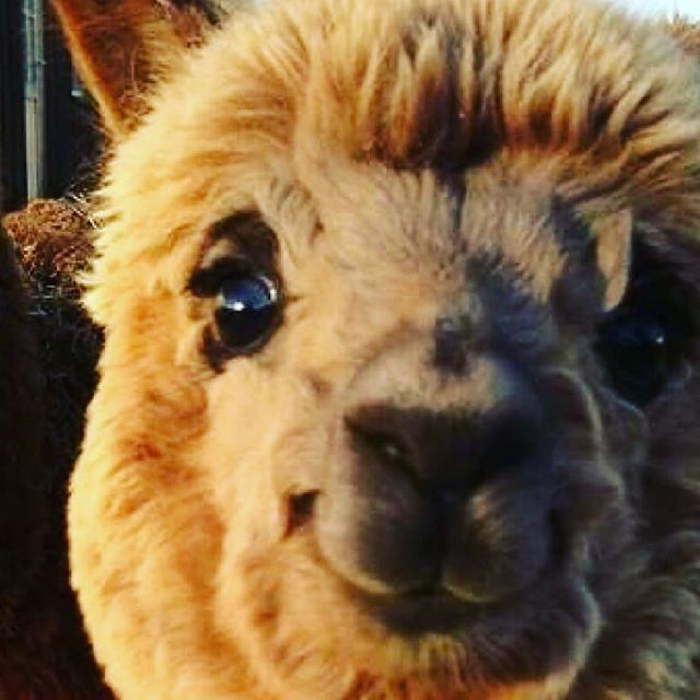 How happy are we that youth group is almost back? Happier than this happy llama.