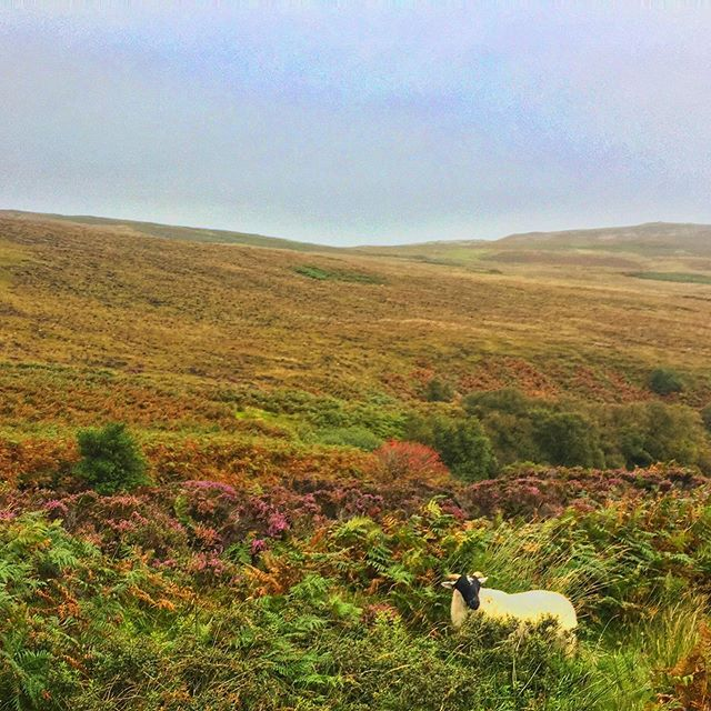 🐑🍀💖#countingsheep 💖🍀🐑 #baa #hike #wanderwoman #ireland #dowhatyoulove #amazing #nature #naturalbeauty #pastoral #sheep #sheepcountry #windy #getoutside #explore