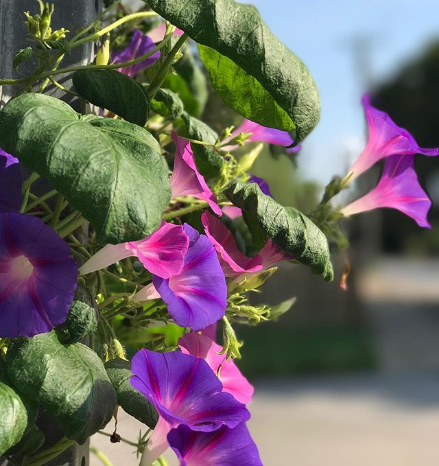 Morning glories on my morning walk. it's a delicious 73 degrees! Wow, it feels so good! #franklintn #closethecircles #applewatch #morningglory #morningwalk