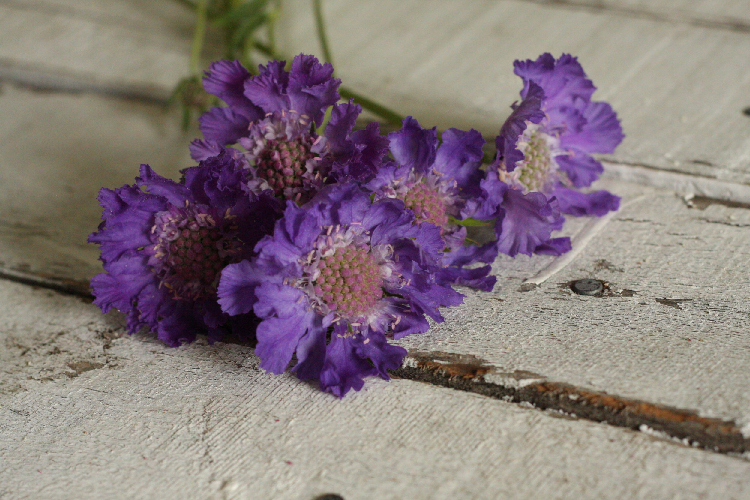 Scabiosa (Perennial Variety)