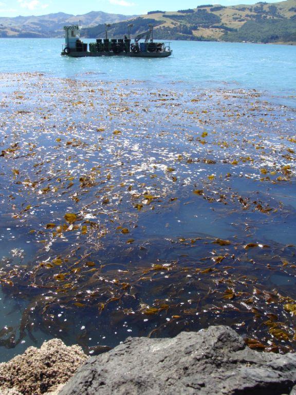 Harvesting NZ Kelp in Akaroa
