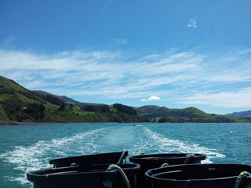 NZ_kelp_Akaroa