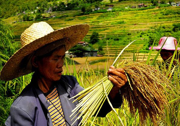 Rice farmers in Los Banos, Laguna / Photo via  irri.org