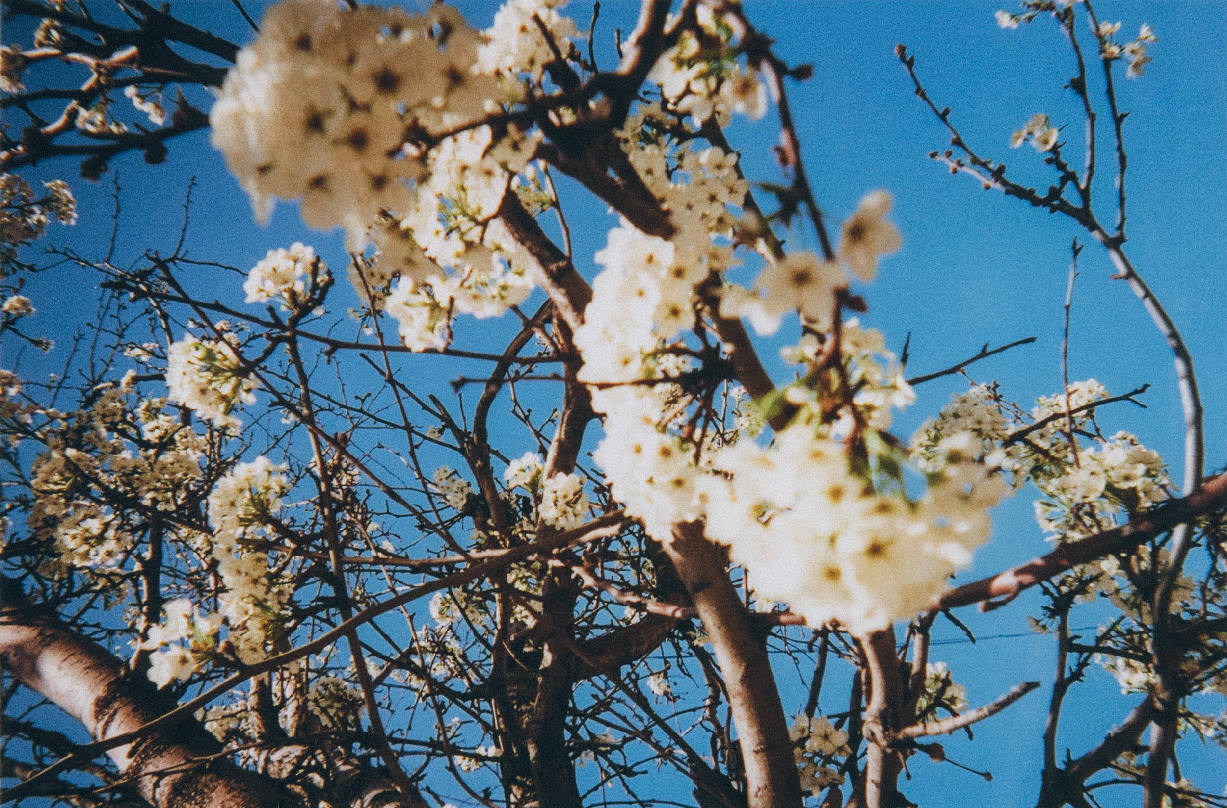 film nicole white blossoms flowers