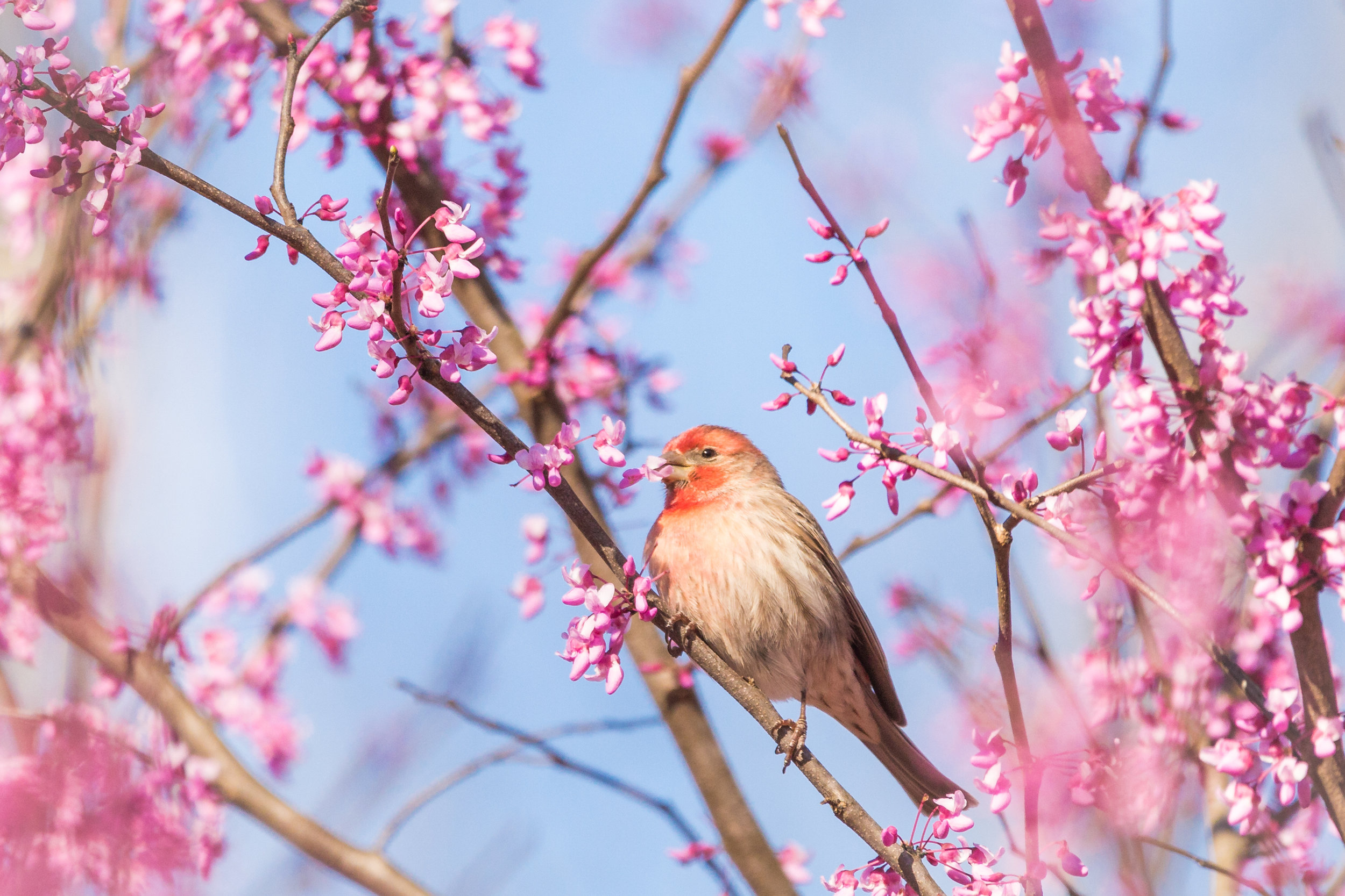 Finch in the Redbud