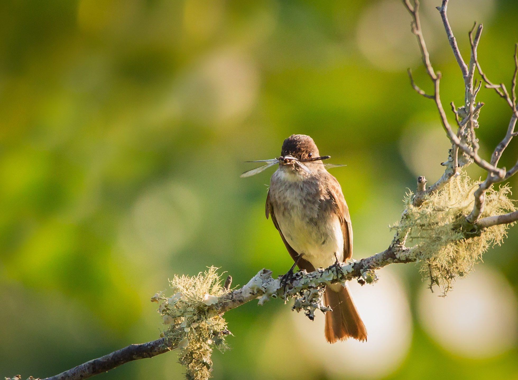 Flycatcher with Dragonfly