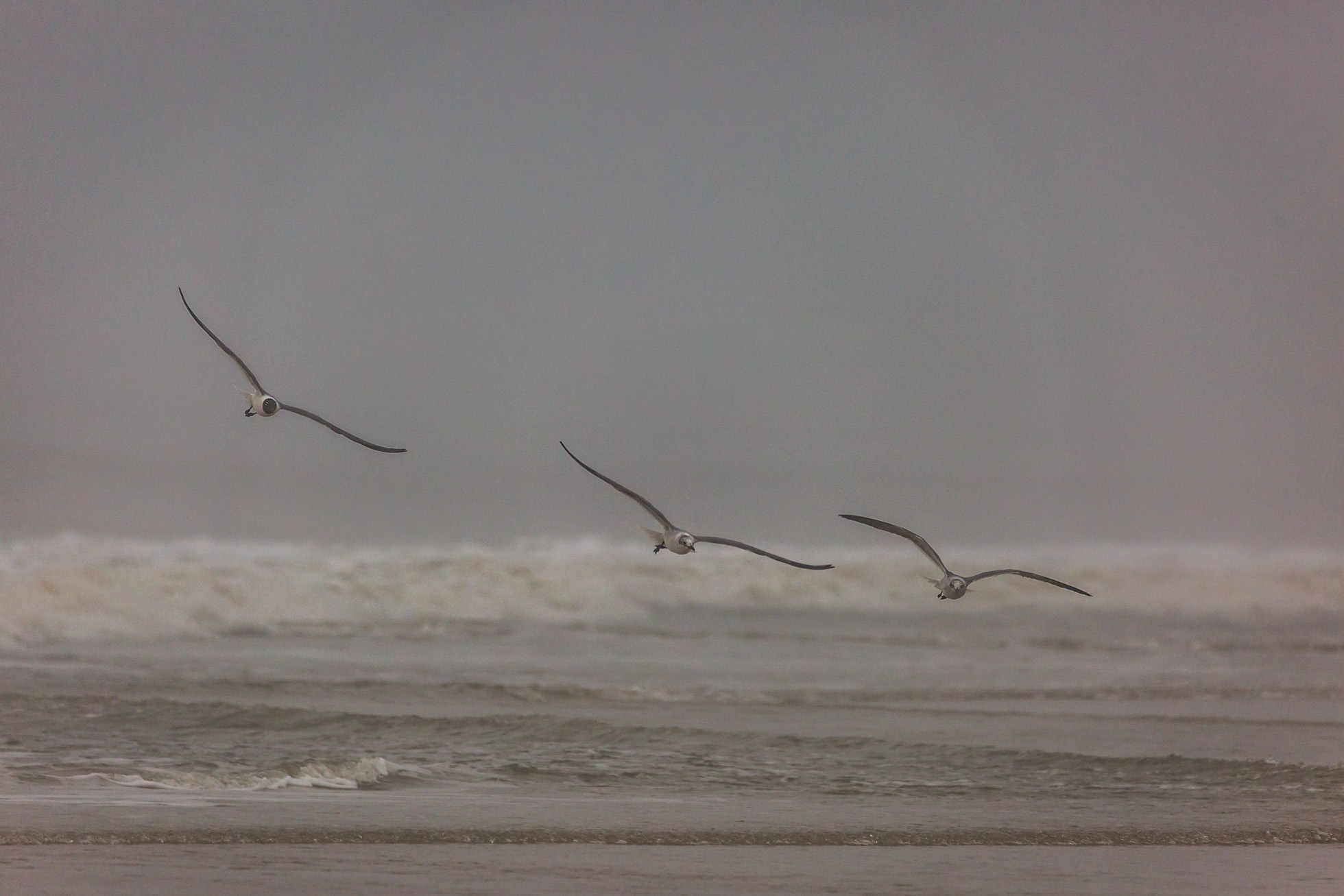 Gulls in Formation