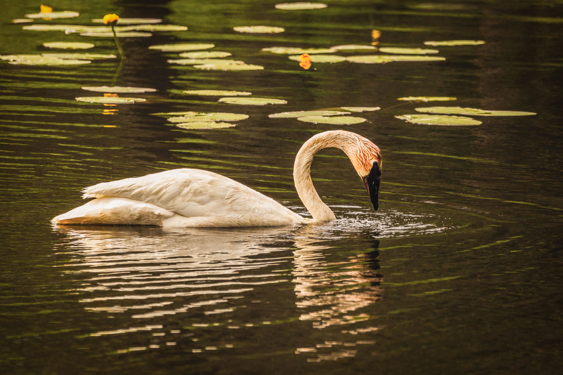 The swans spend most of their time foraging for food under water.