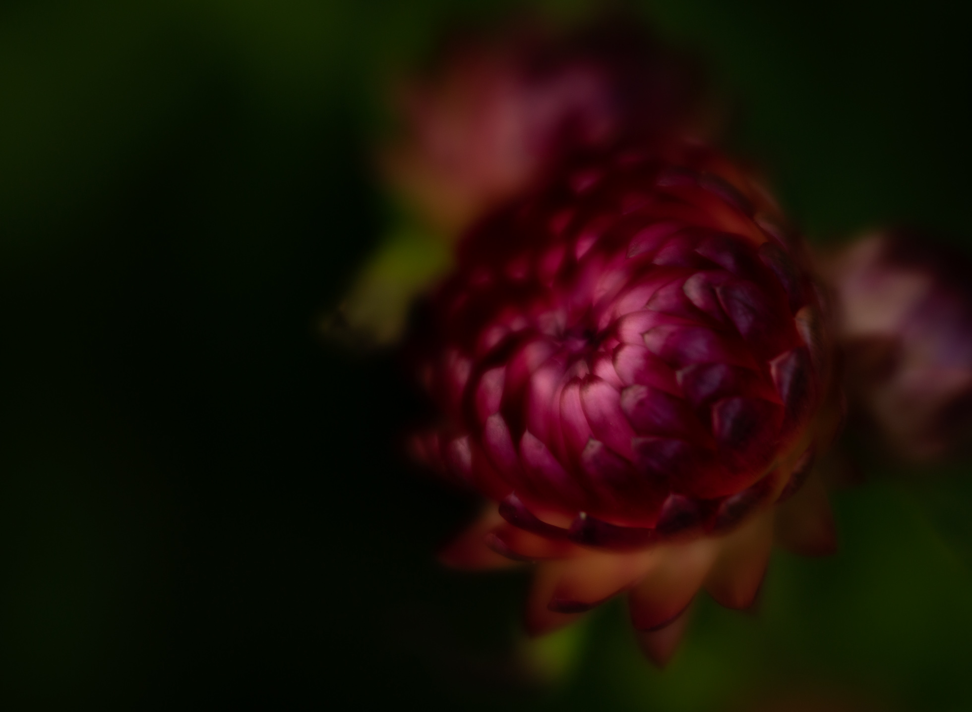 Strawflower2.jpg