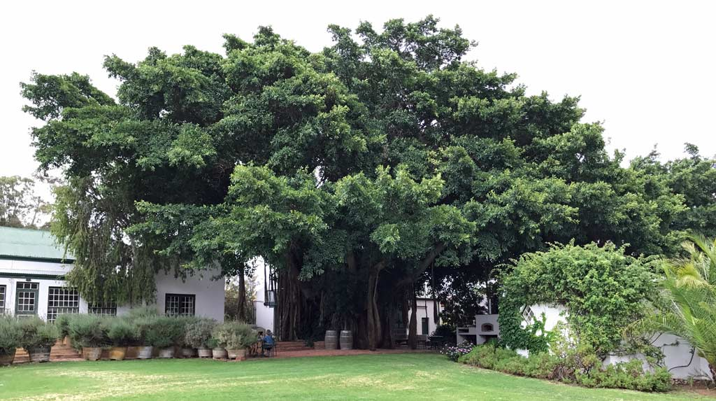 The giant wild fig tree that graces Tanagra labels.