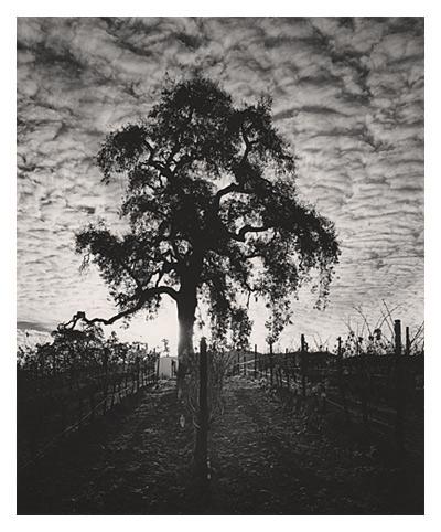 Cachagua Oak (Carmel)