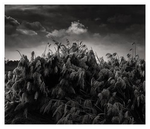 Tule Harvest
