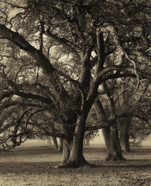 Two-Hearted Oak