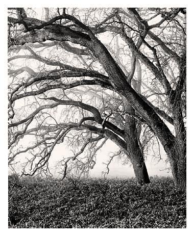 Dendritic Oaks