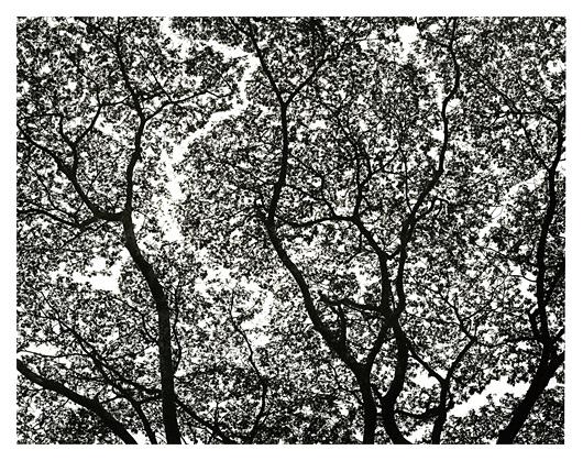 Rain Tree Lace